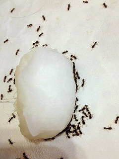 Yes -- Borax got rid of the ants!