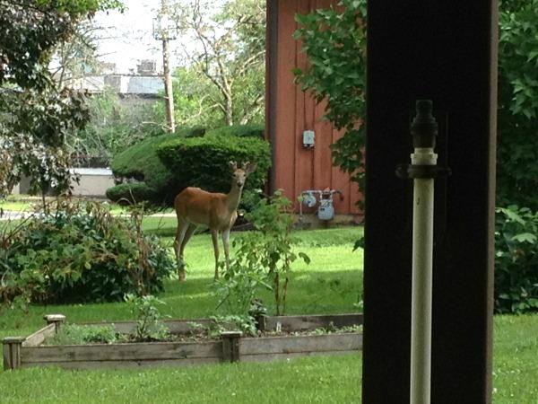 deer-in-our-yard