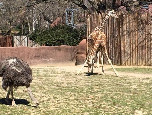 zoo-giraffe-ostrich