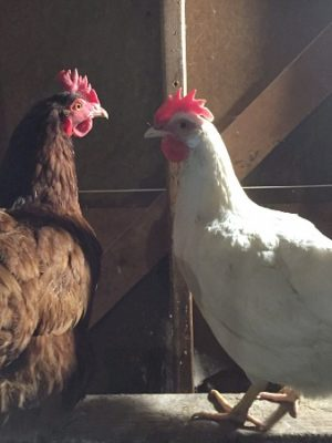 Backyard Chickens in winter — and a trip to Big R