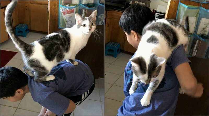 Caturday -- gray and white cat climbing on boy