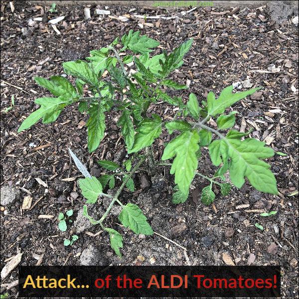 garden tomato plant from aldi