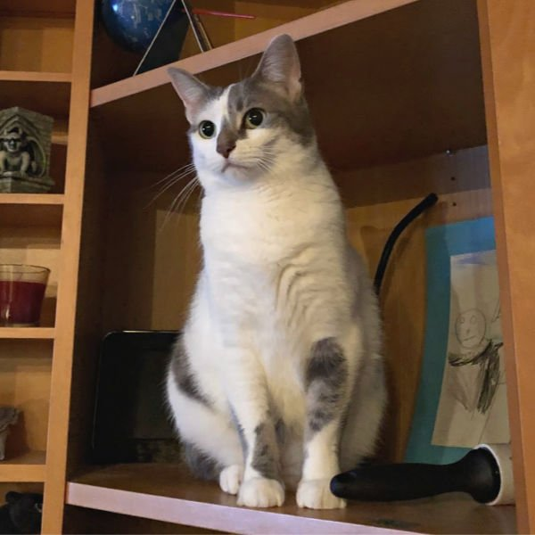cat on a shelf staring into space