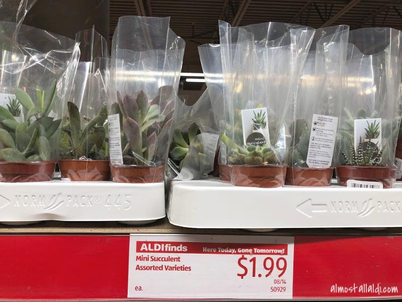 mini succulents at ALDI
