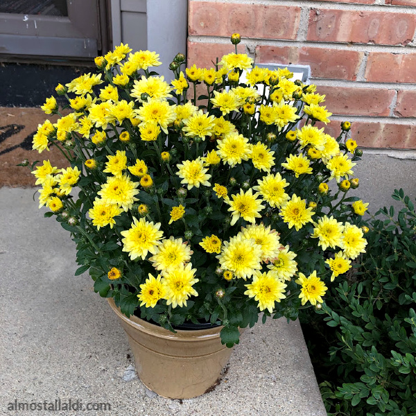 garden mums from aldi on a front porch
