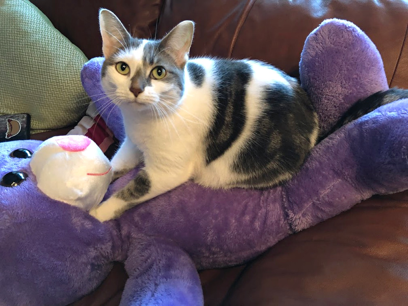 white cat with gray markings on a lavender stuffed bear