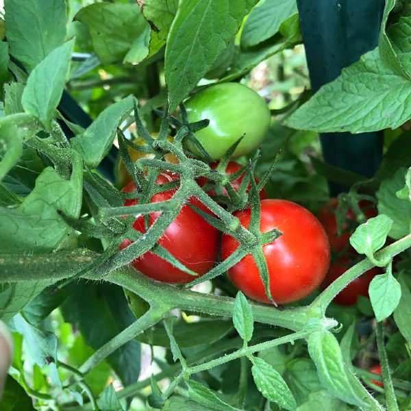 tomatoes on the vine in my garden