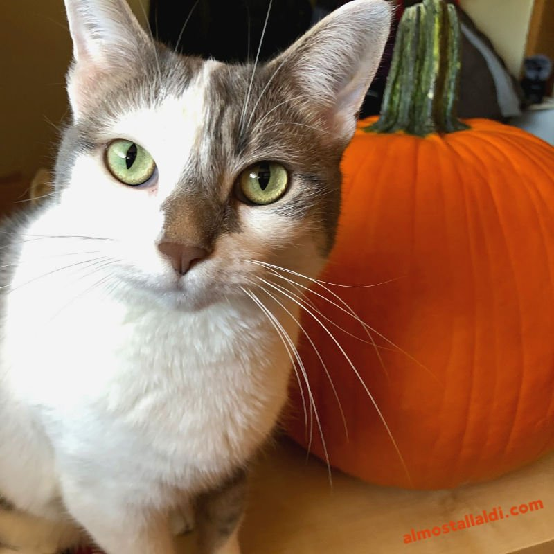white and gray cat with a pumpkin