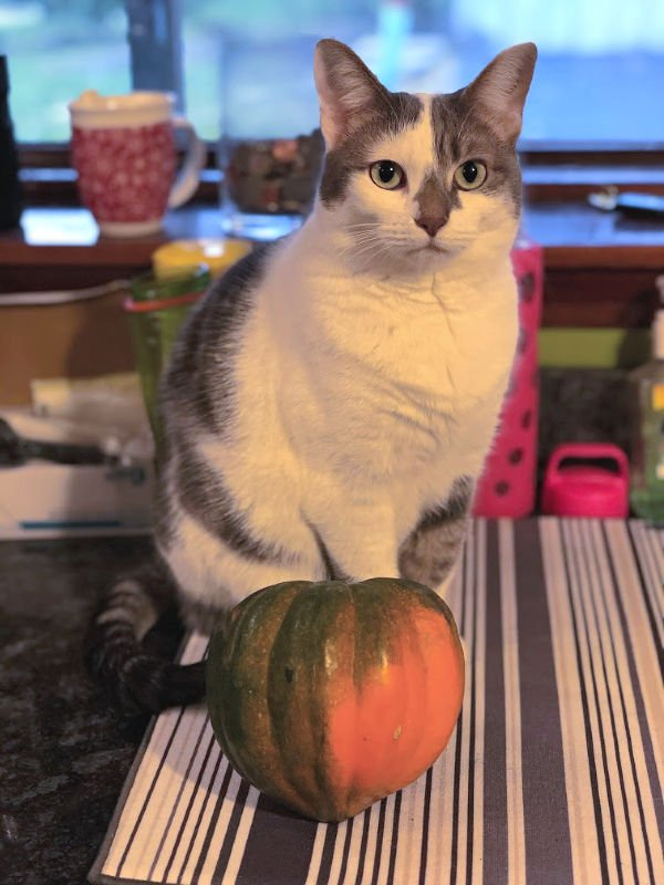white and gray cat with an acorn squash