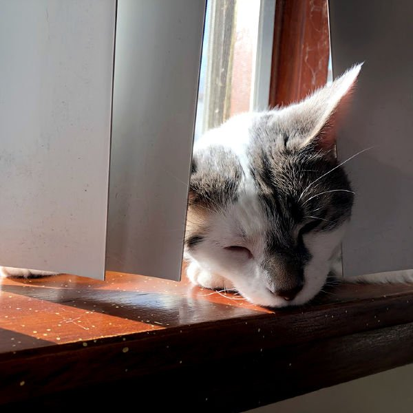 white and gray cat sleeping on a windowsill