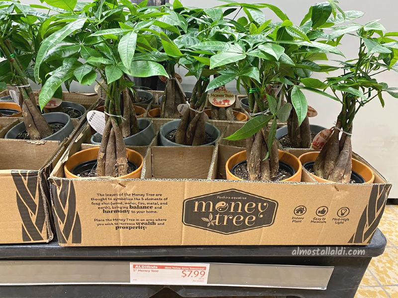 Money trees at ALDI during part of their Asian Week sales