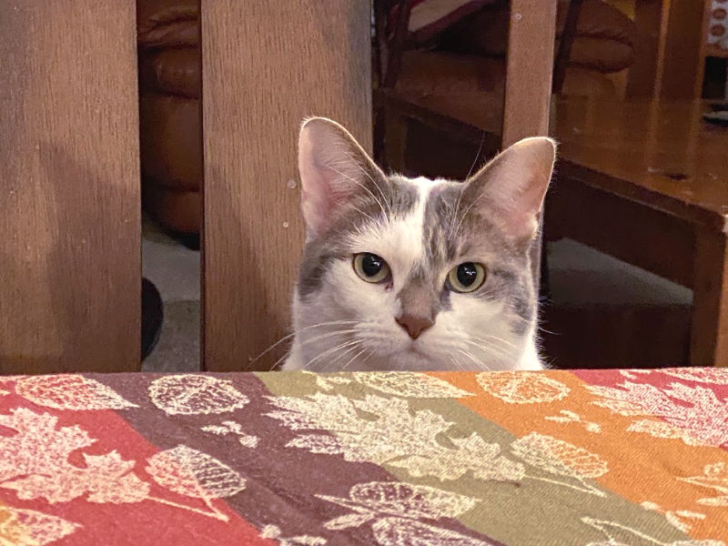 BKL wants to be a meme -- white and gray cat sitting at a table