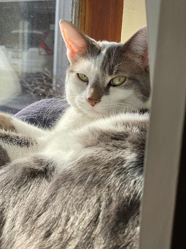 BKL sleepy cat on the windowsill sucking up the sunlight