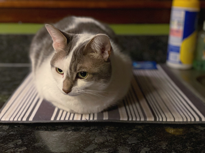bad kitty lucy on the dish mat on the counter