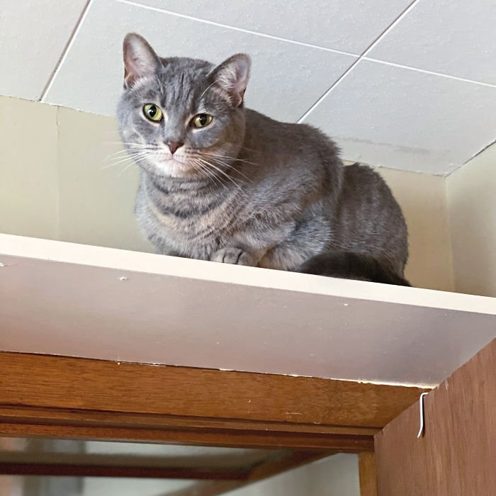 Cat climbing a high shelf