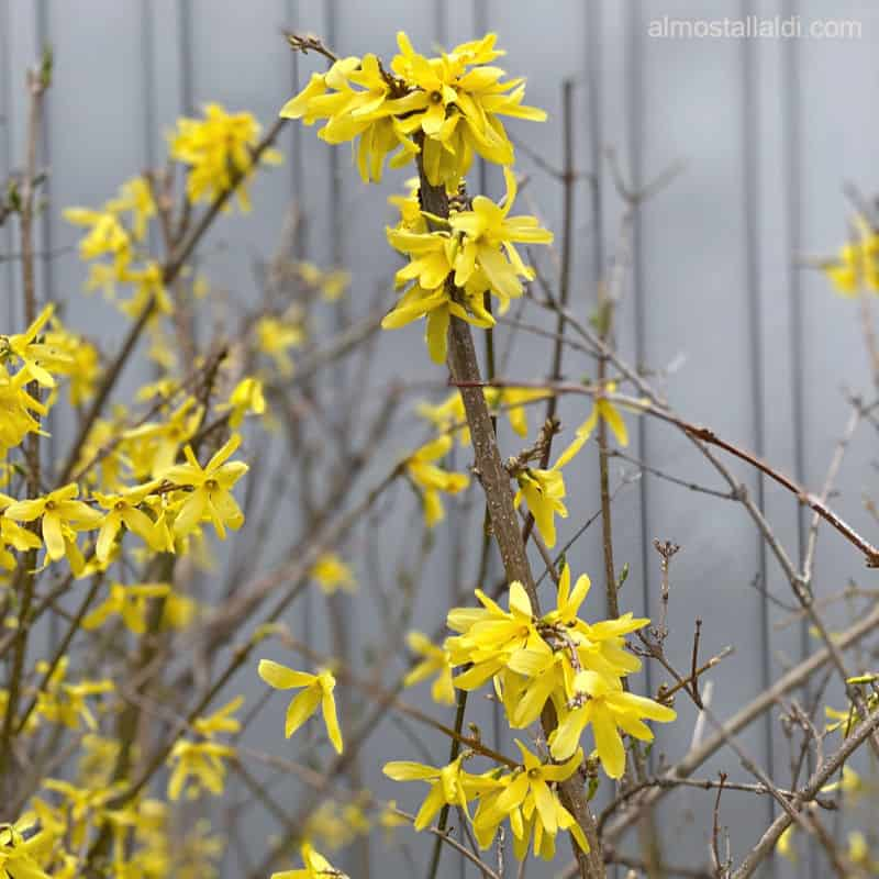 ALDI forsythia blooming beautifully several years later
