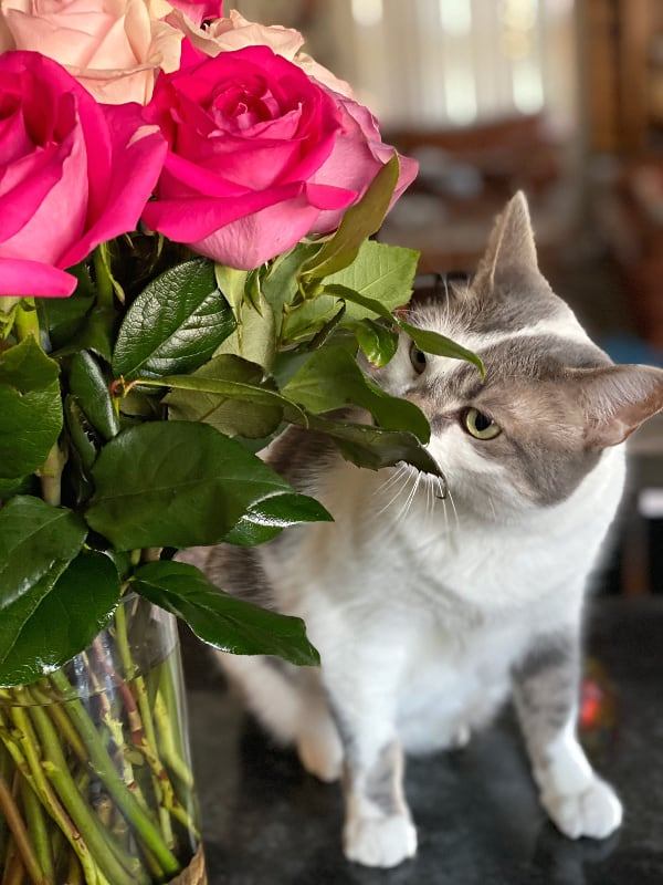Bad Kitty Lucy smells the roses -- grey and white cat with flowers