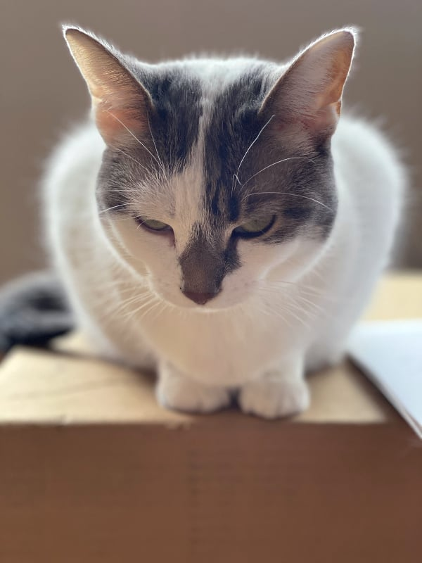 white and gray cat on a box with sunshine