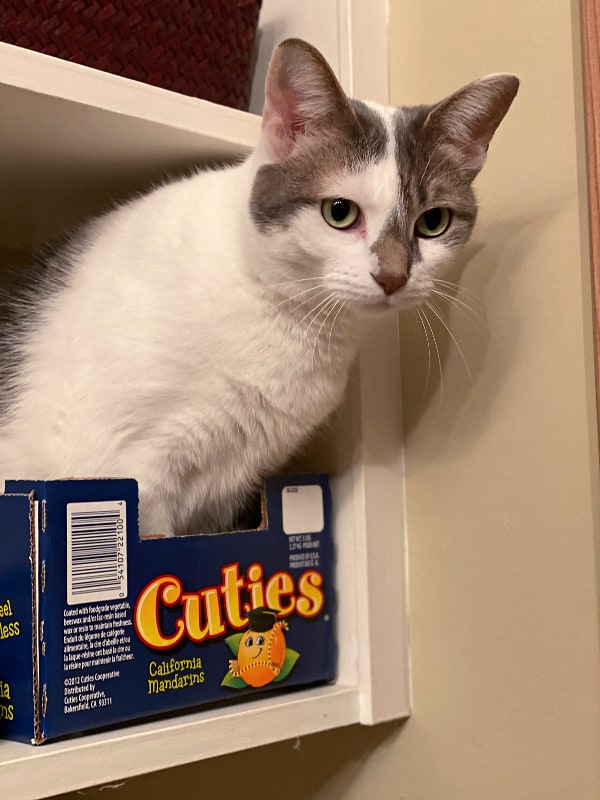 Grey and white cat in a cuties box on a shelf