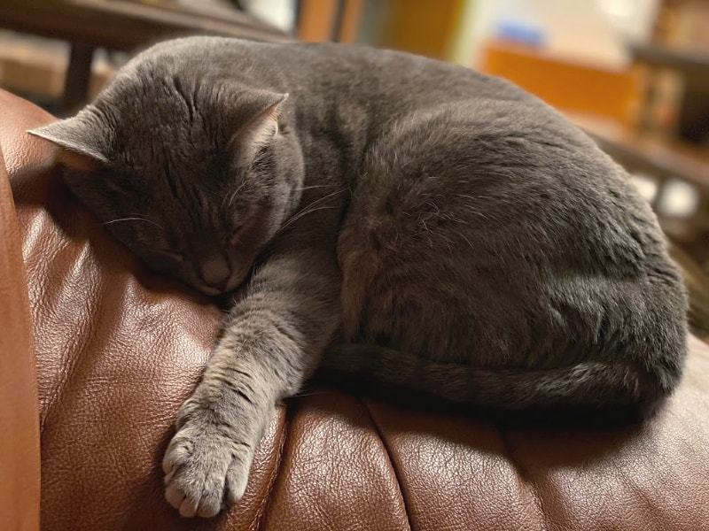 Small gray cat sleeping on a brown leather chair