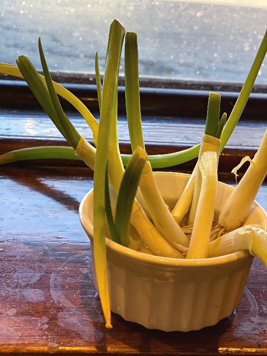 re-grow green onions root end down in water