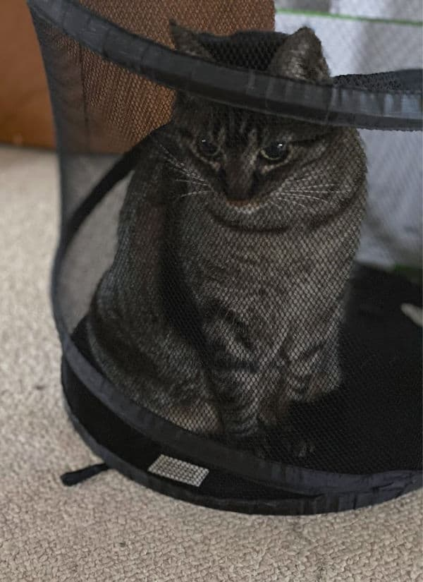 brown tabby cat in a laundry hamper