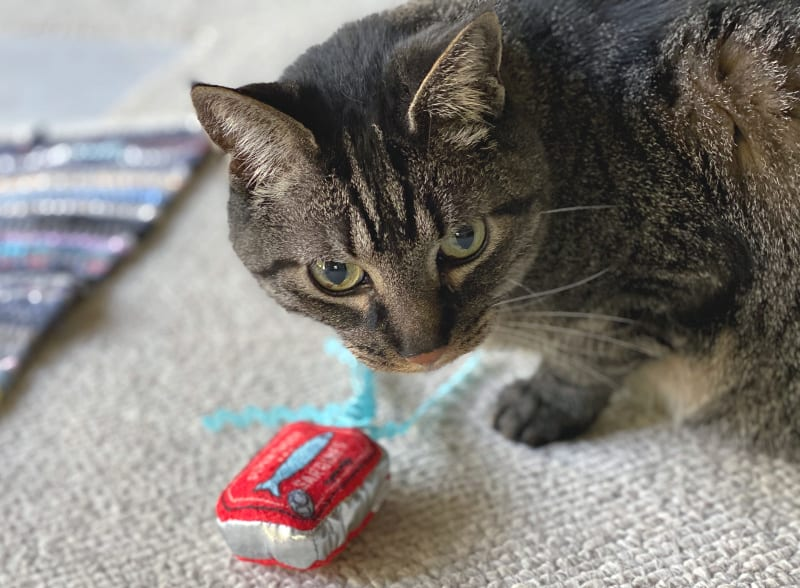 brown cat with a toy