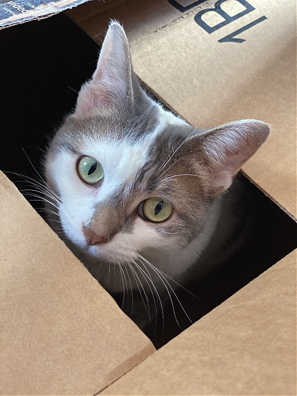 cat's head poking out of a box