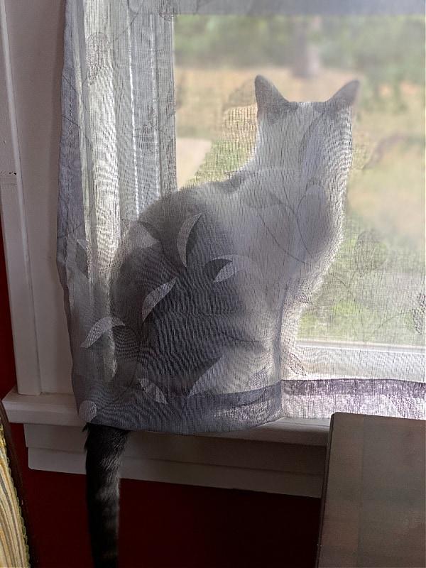 cat behind a sheer curtain