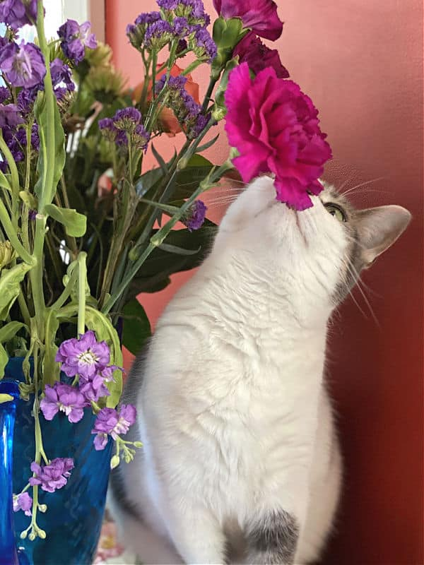 white cat smells a pink flower