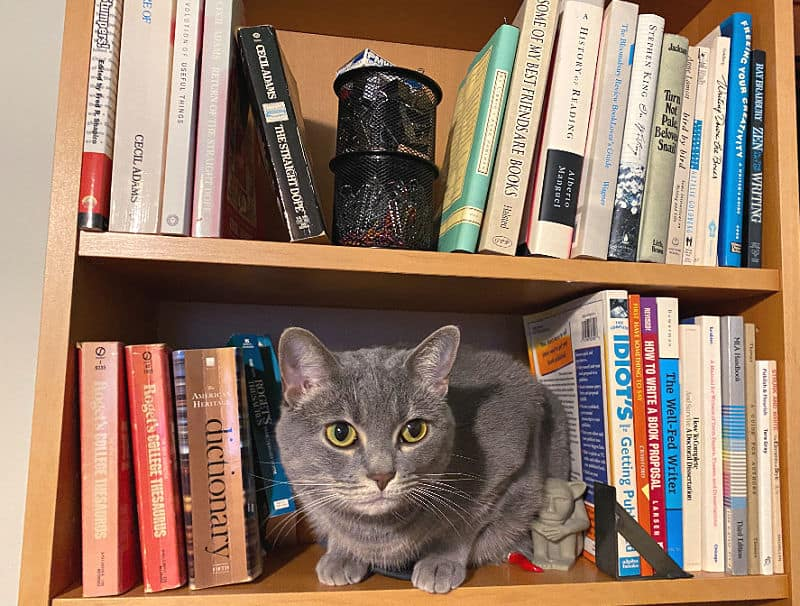 grey cat on a bookcase