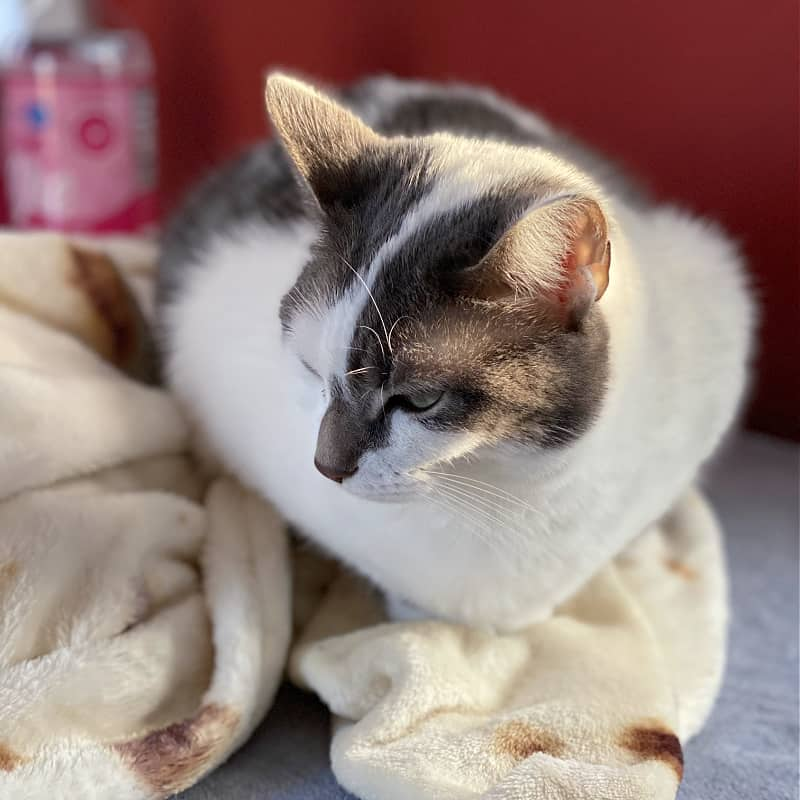 bad kitty lucy on a burrito blanket