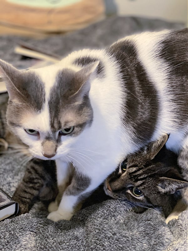 white and gray cat standing over a brown tabby
