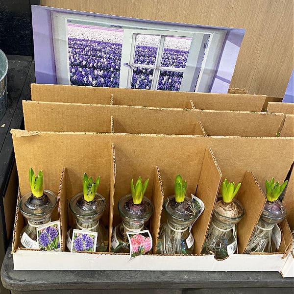 hyacinth at aldi
