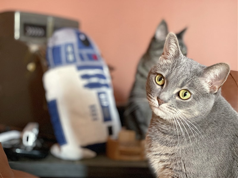 gray cat Gnocchi with R2D2 pillow