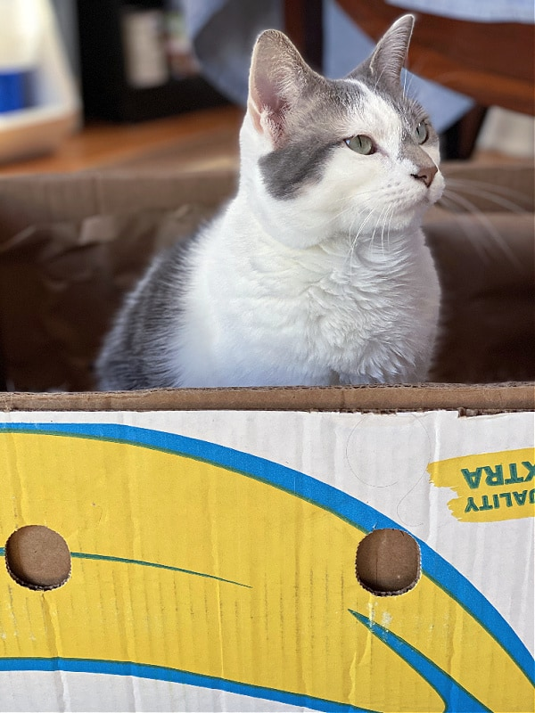 white and gray cat in a banana box