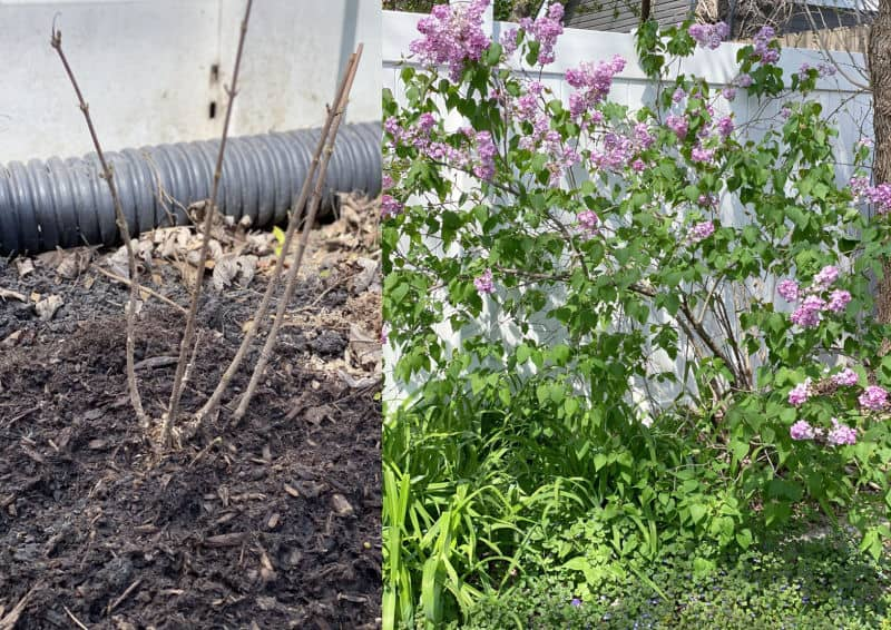 lilacs old and new