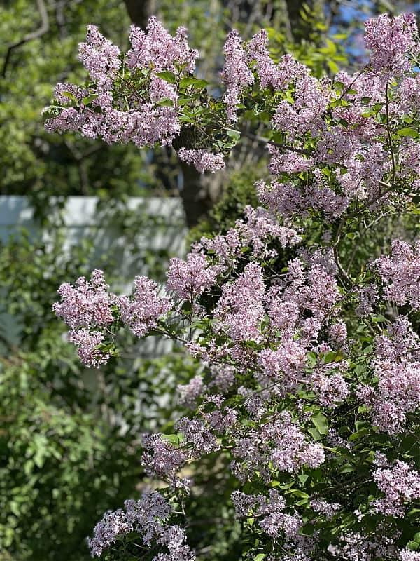 pretty purple spring lilacs