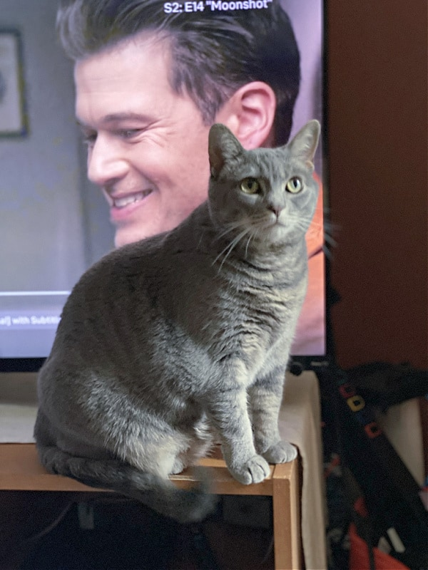 gray cat in front of a tv