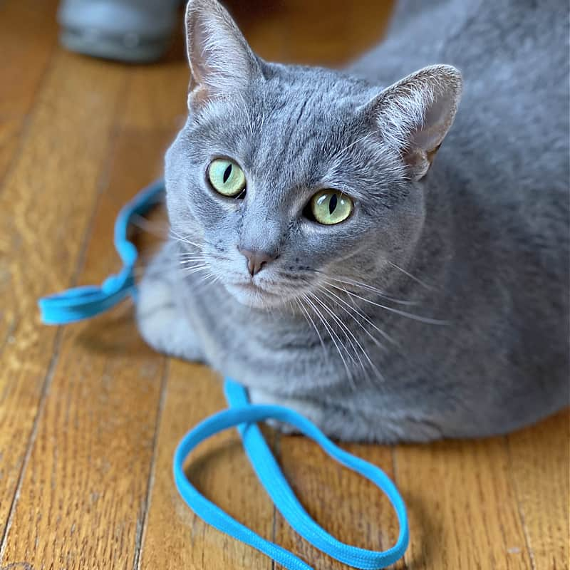 bad gray kitty with blue shoelace