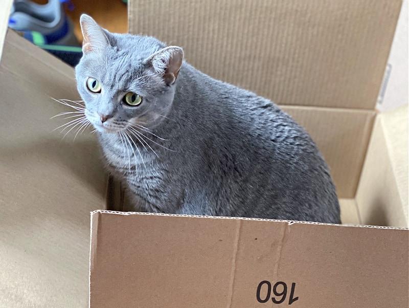 gray cat in a box