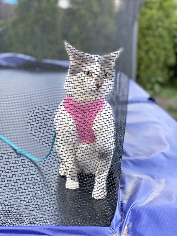 cat in a harness on a trampoline