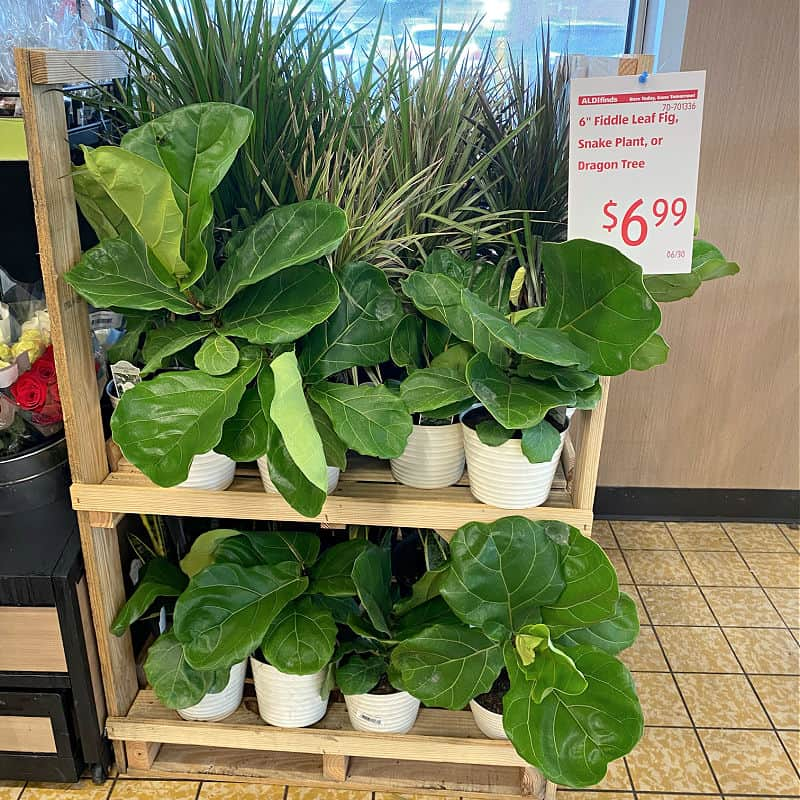 fiddle leaf figs in this week's ALDI Finds