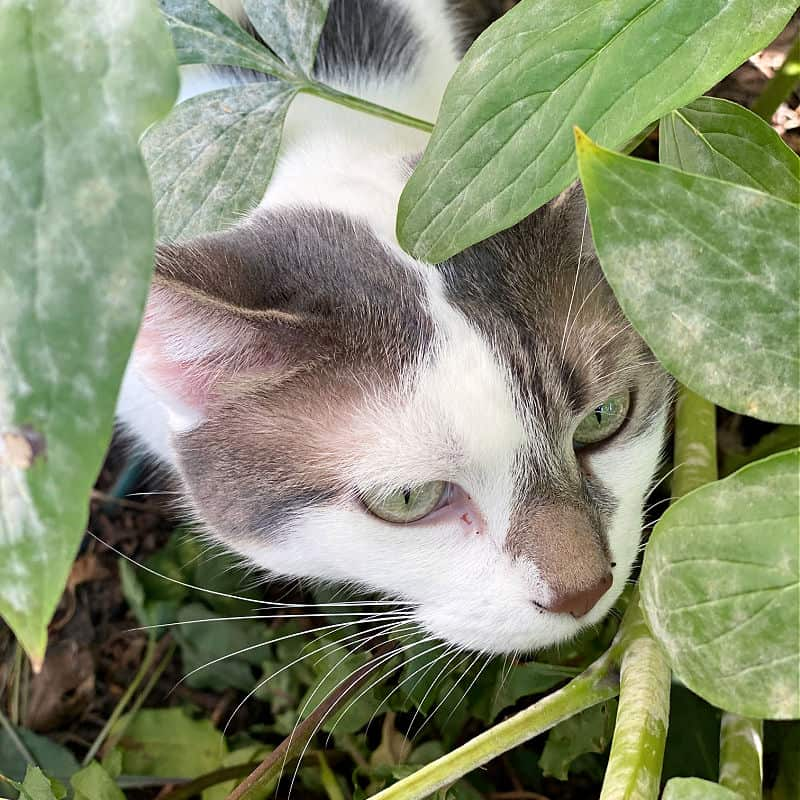 white and gray cat in a plant
